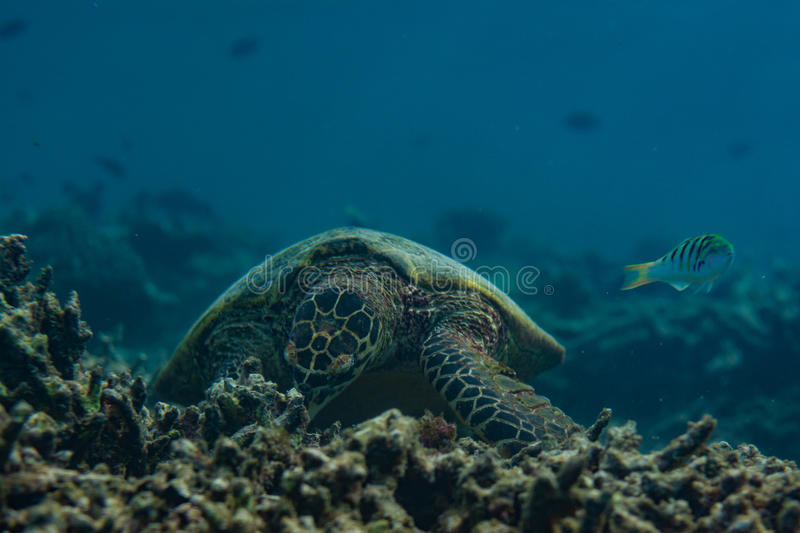 Turtle eating in the indian ocean at Maldives royalty free stock image