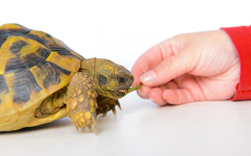 Turtle eating leaf. Two turtles in front of white background eating leaf stock photos
