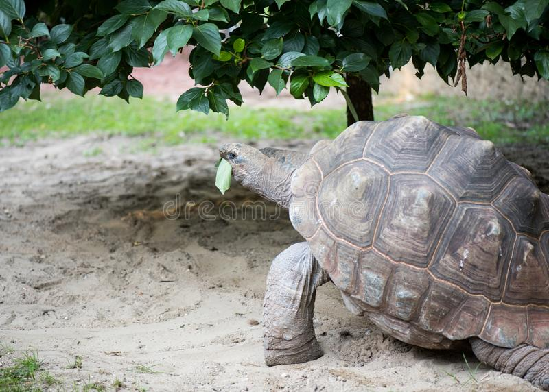 Giant grey tortoise in the sand. Turtle eats green leaves from a tree. Reptiles usually live on tropical islands royalty free stock photography
