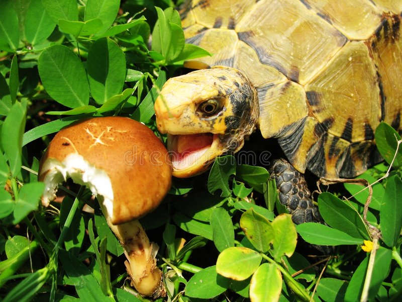 Turtle eatting--Impressed tortoise. A Chinese turtle,Impressed tortoise,eatting fungus stock photography