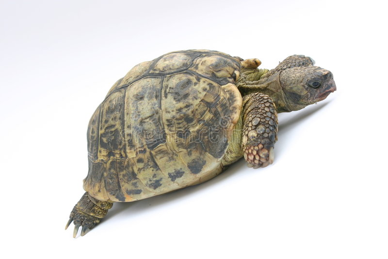 Download Turtle Emma stock image. Image of scareface, dynamic, turtle - 655709