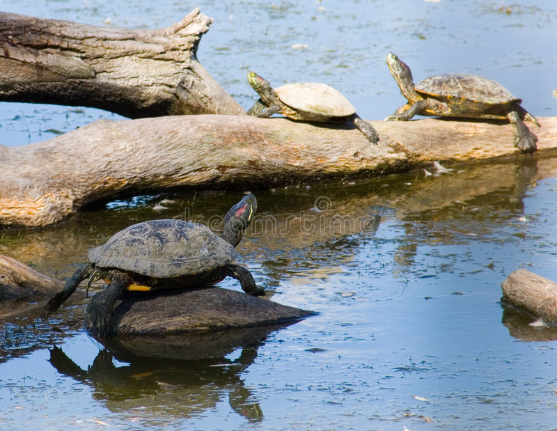 Turtle family 2 stock photo