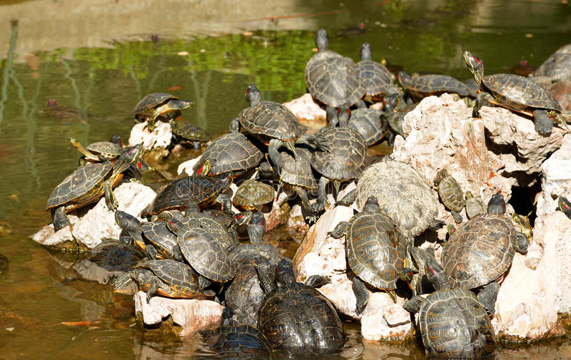 Turtle family in a pond - National Garden Athens Greece. Family of small turtles in a pond in the National Garaden in Athens Greece in a sunny day royalty free stock photo