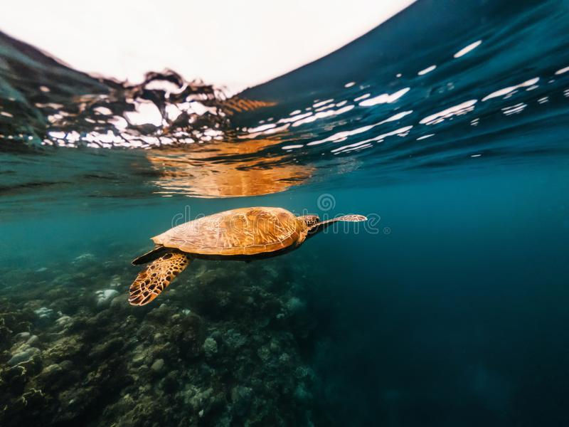 Turtle floating underwater close to surface of water, Philippines royalty free stock photography