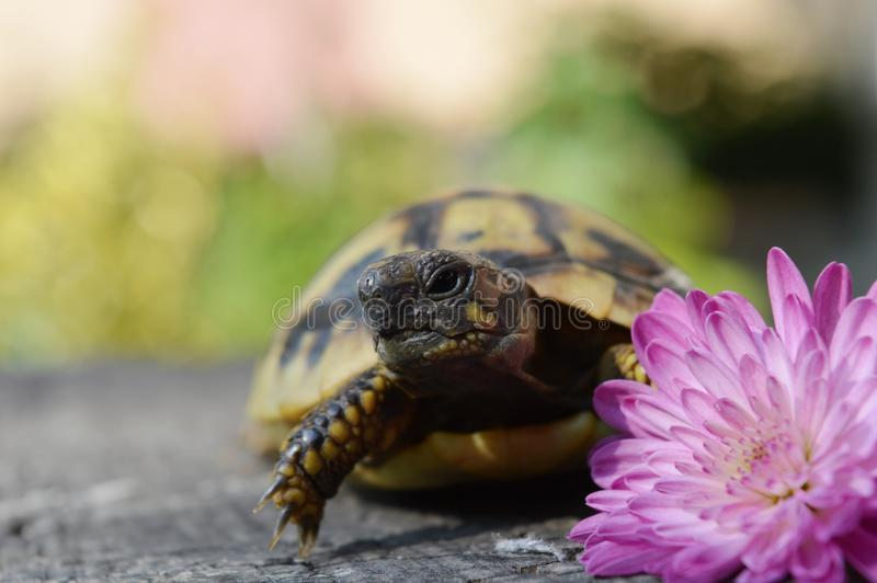 Turtle and flower. A small turtle in flower royalty free stock photo