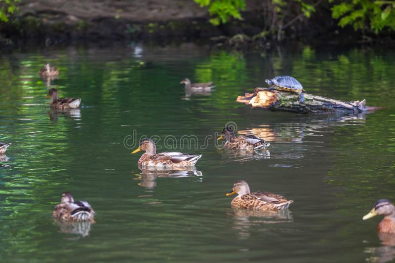 Turtle and Free ducks swimming in the water in Sempione Park, Milan stock photography