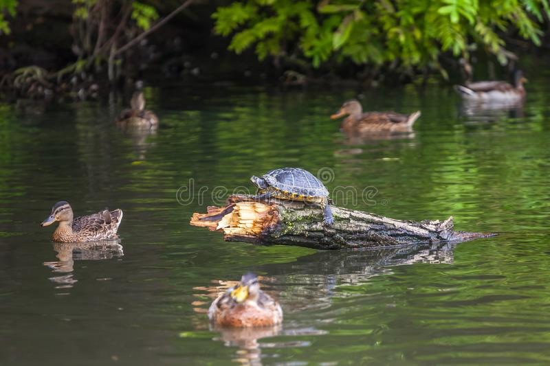 Turtle and Free ducks swimming in the water in Sempione Park, Milan stock images