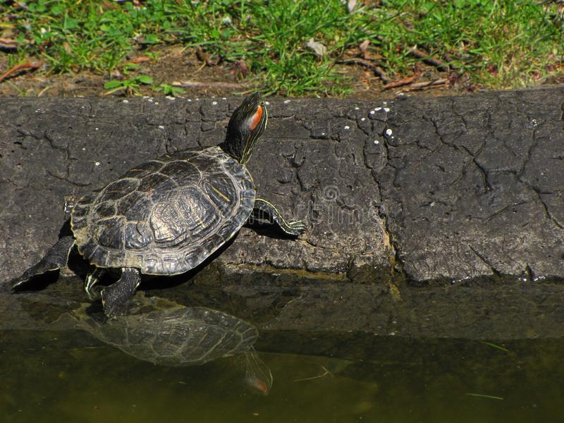 Turtle going out from the water in the park royalty free stock photo