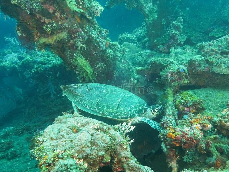 Turtle grazing on marine life growing on the liberty wreck in tulamben, bali. A green sea turtle grazes on marine life growing on the liberty wreck in tulamben stock photography