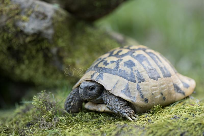 Turtle in green landscape. Turtle in forest, wildlife in greek landscape, Turtle are diapsids of the order Testudines or Chelonii, reptile group, ectotherm, cold royalty free stock image
