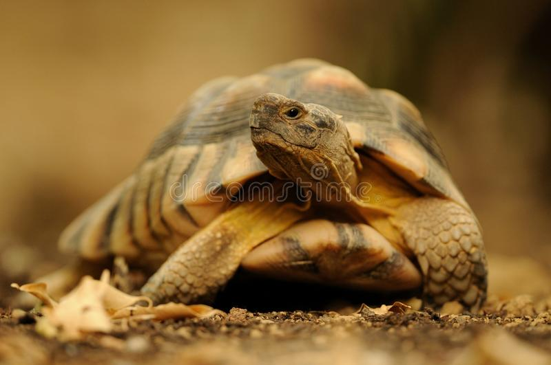 Turtle on the Ground. Turtles belongs to the oldest reptiles on the earth royalty free stock photos