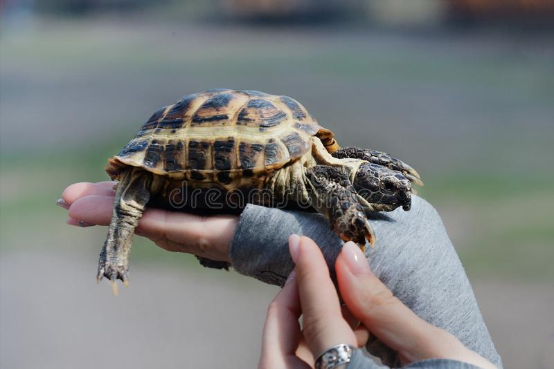 Turtle on hand close up. The concept of human friendship with the animal world. Helping needy animals royalty free stock photography