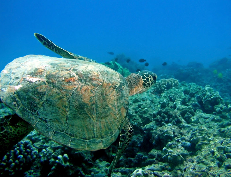 Download Turtle in Hawaii stock image. Image of hawaii, tropical - 3005931