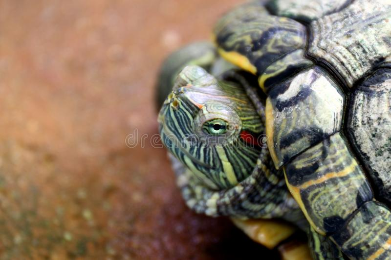 Turtle, Head turtle close up, Turtle contract in the shell Selective focus royalty free stock image