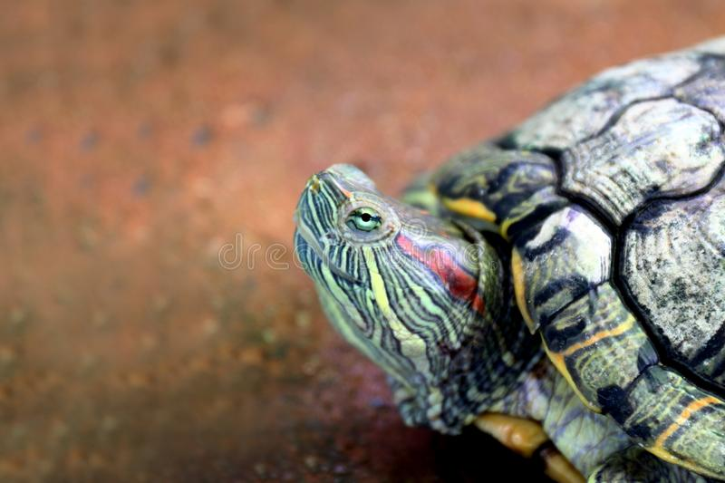 Turtle, Head turtle close up, Turtle contract in the shell Selective focus royalty free stock photography
