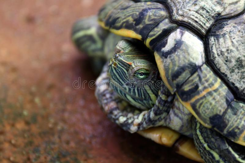 Turtle, Head turtle close up, Turtle contract in the shell stock images
