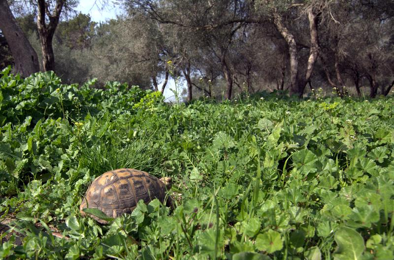 The turtle hides in the grass among the flowering trees on the Golan Heights in the spring in Israel, royalty free stock images