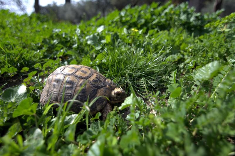 The turtle hides in the grass among the flowering trees on the Golan Heights in the spring in Israel stock image
