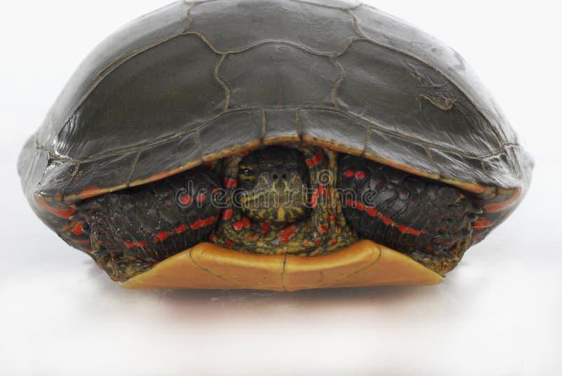 Turtle Hiding Royalty Free Stock Photo