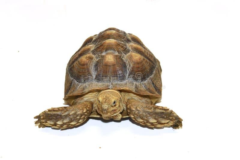 Turtle isolated on white stock photos