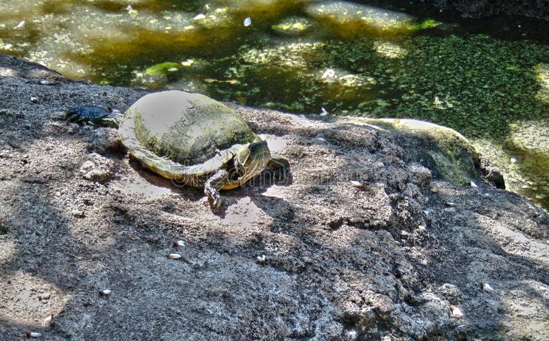 Turtle on land wonderfull. A turtle walks during the day royalty free stock images