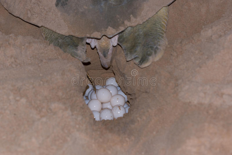 Turtle laying eggs on Bare Sand Island, Australia stock photo