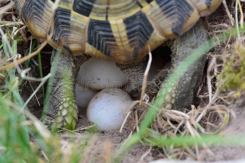 Turtle laying eggs royalty free stock images