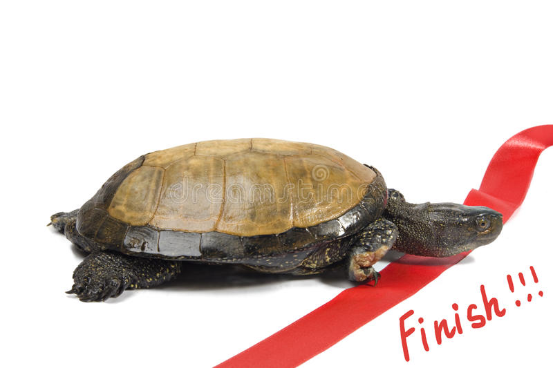 Turtle leader finishes royalty free stock photography