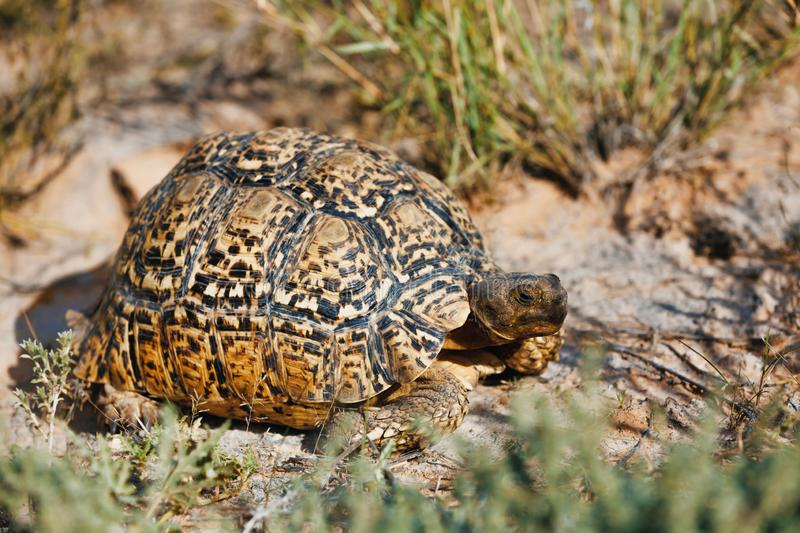 Turtle leopard tortoise, South Africa wildlife. Beautiful turtle leopard tortoise in nature habitat, north part of South Africa, Safari wildlife royalty free stock images