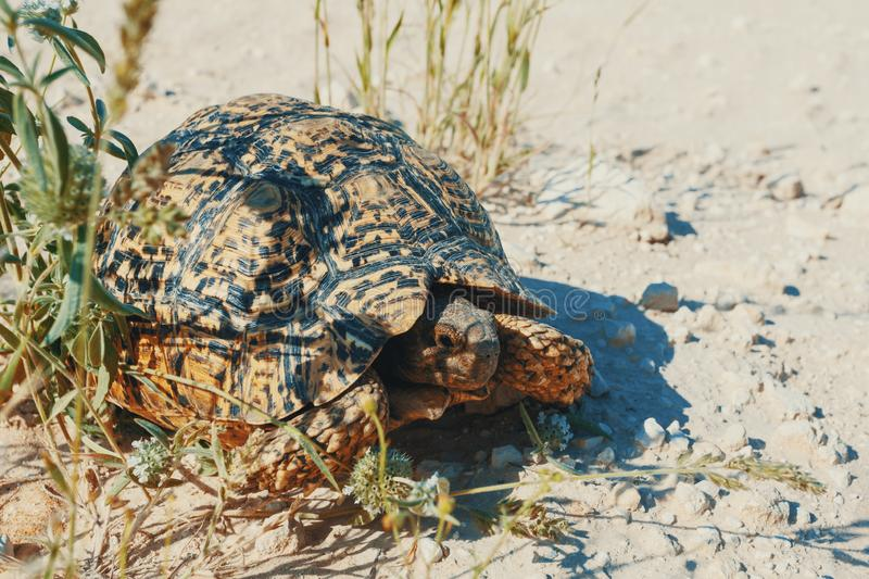 Turtle leopard tortoise, South Africa wildlife. Beautiful turtle leopard tortoise in nature habitat, north part of South Africa, Safari wildlife royalty free stock photo