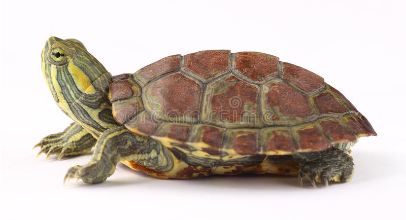 Turtle. A little turtle isolated on white