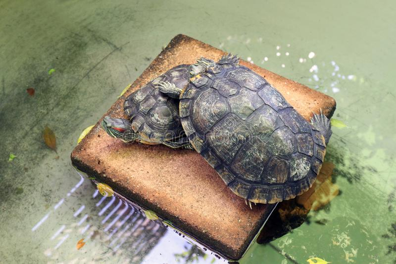 Turtle lovers, Freshwater turtle, beautiful turtles stock images