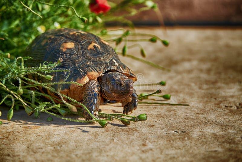 Turtle Mediterranean Greece royalty free stock photography