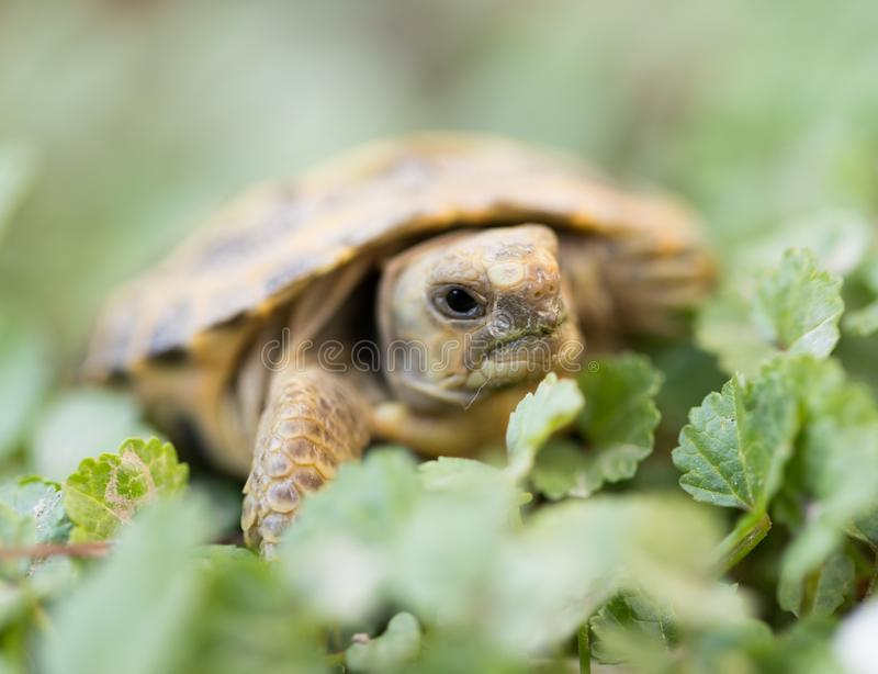 Turtle in nature royalty free stock photos