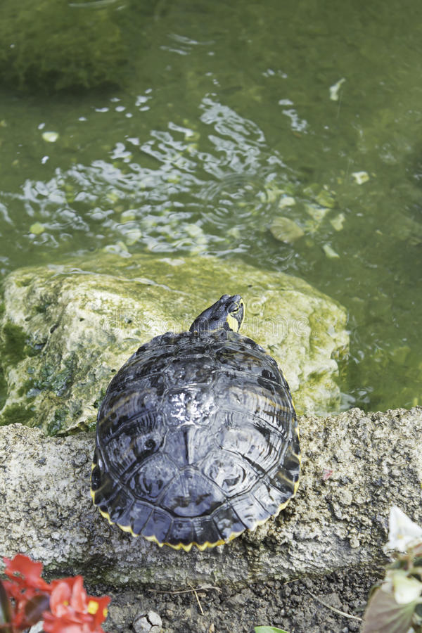 Turtle in nature. Tropical Turtle River pond, animals and nature stock photography