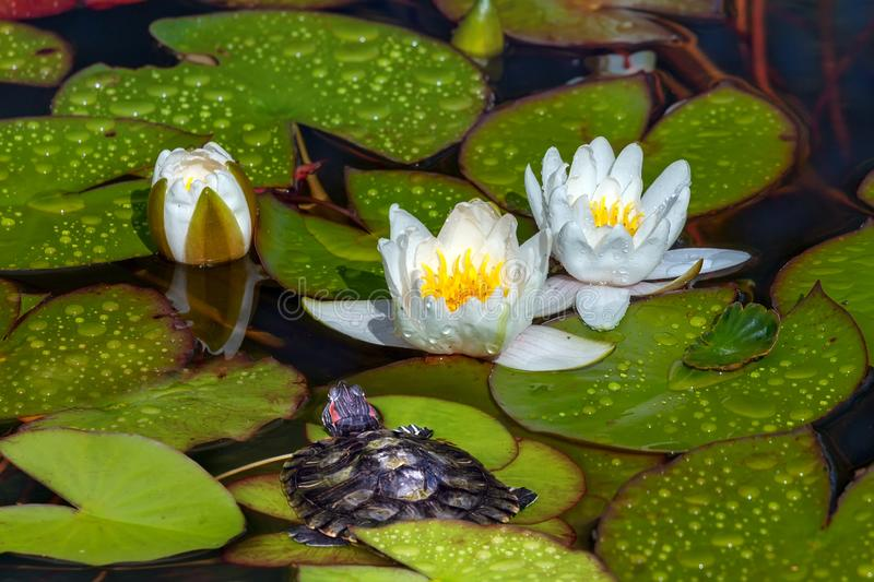 Turtle near the blooming white water lilies. In the pond stock photos