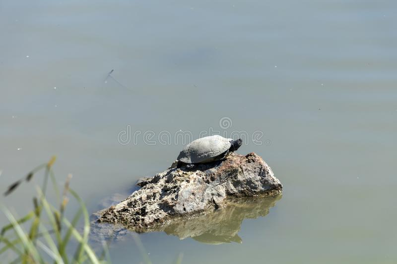 Turtle warming up on the stone surrounded by water royalty free stock images