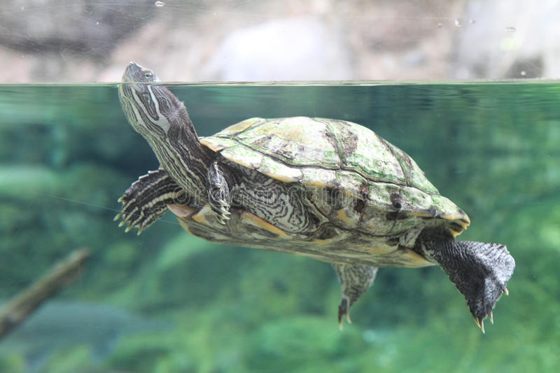 Turtle pokes it's head out of water royalty free stock photo