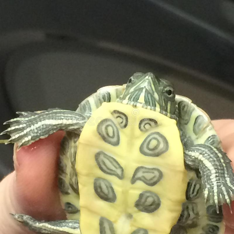 Turtle. Popping out stock photography