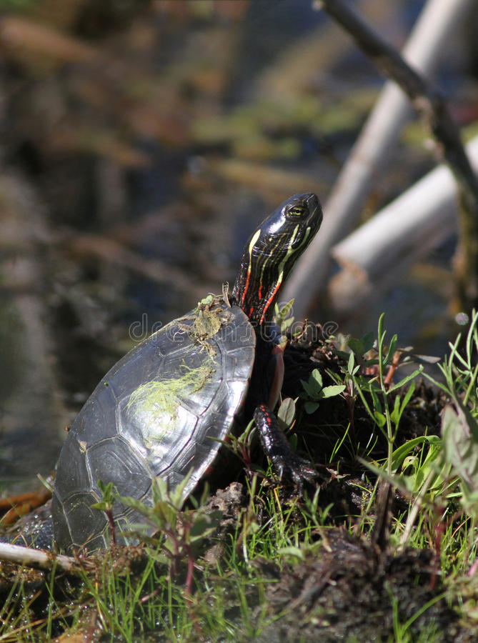 Download Turtle portrait stock photo. Image of termal, canada - 19995100