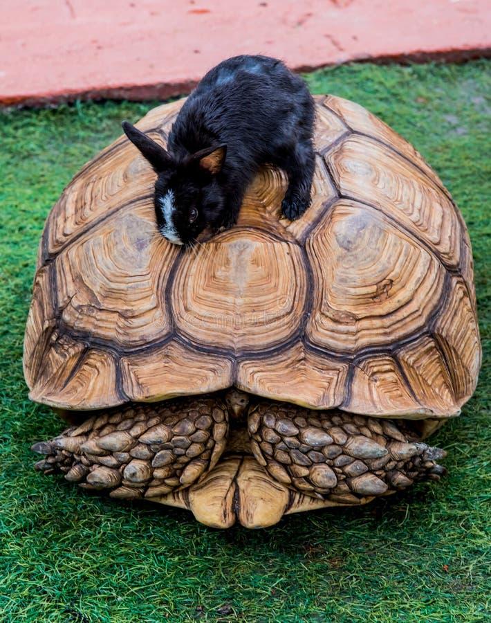 Turtle and rabbit stock photos