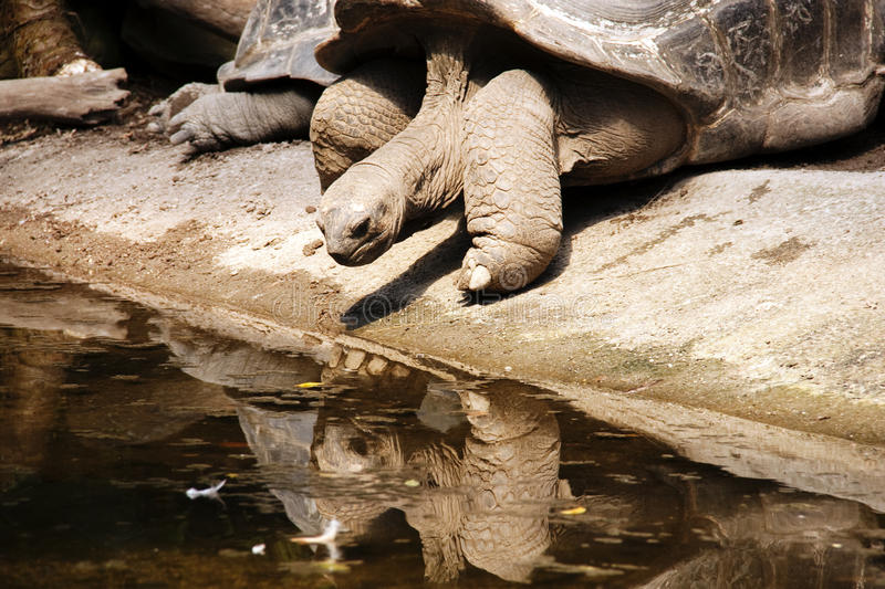 Download Turtle Reflected In The Water Surface Stock Image - Image: 21776363