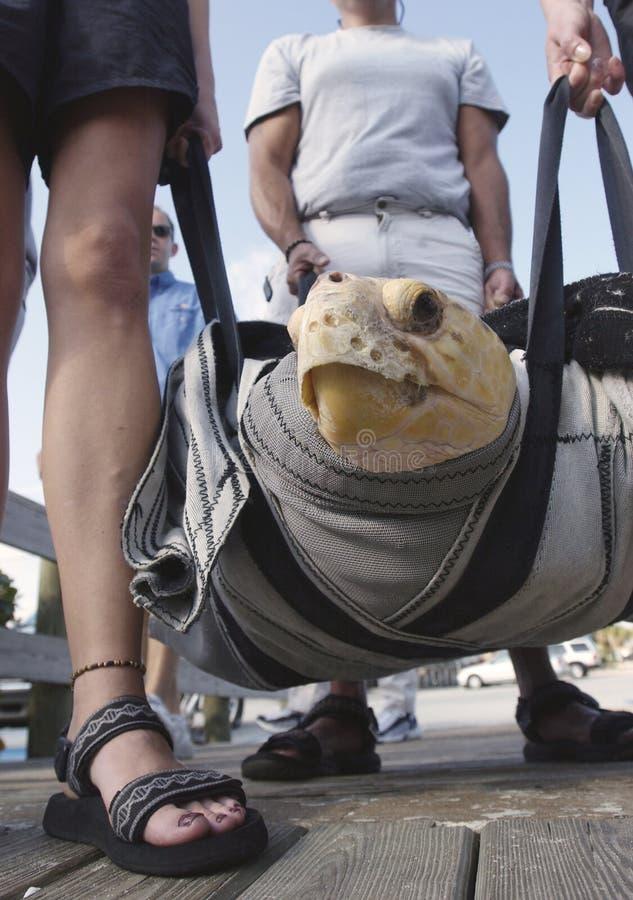 Turtle Release Stock Photo