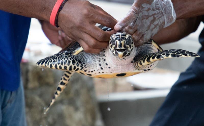 Turtle release, Treasure Island breeding program royalty free stock photo