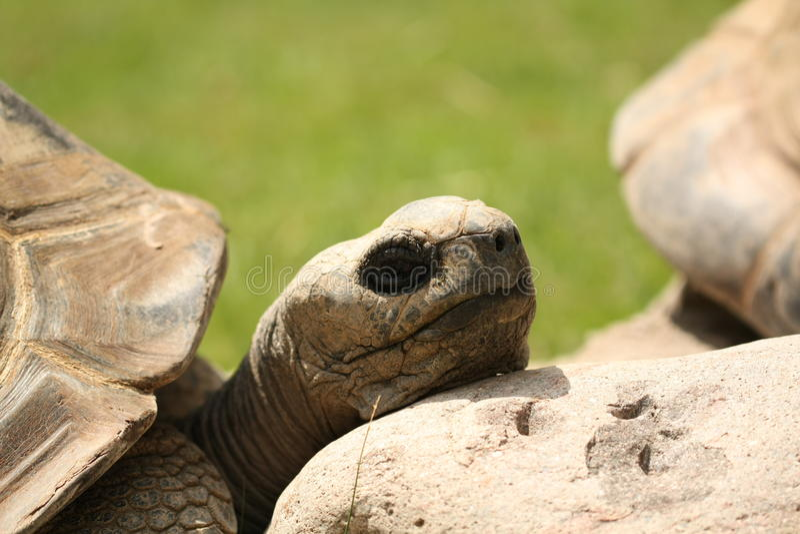 Turtle Resting Stock Photo