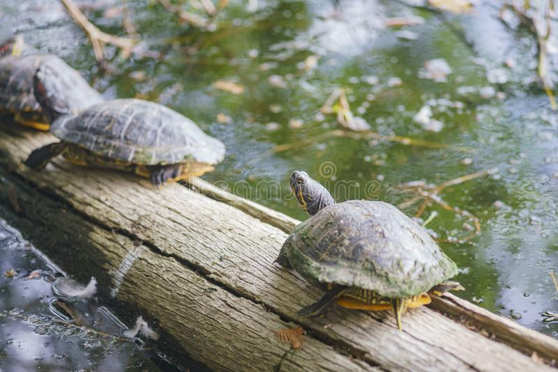 Turtle resting on a branch stock photography