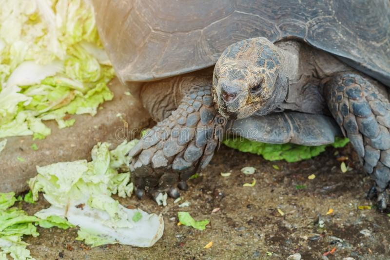 The turtle is resting after eating. The Chinese cabbage royalty free stock images