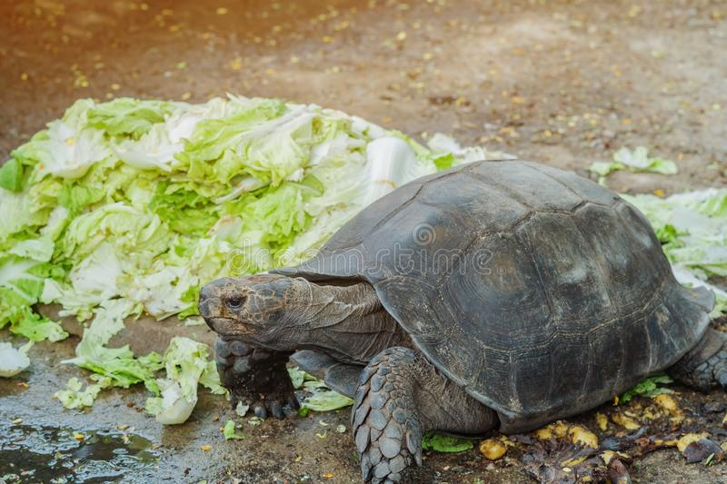 The turtle is resting after eating. The Chinese cabbage royalty free stock image