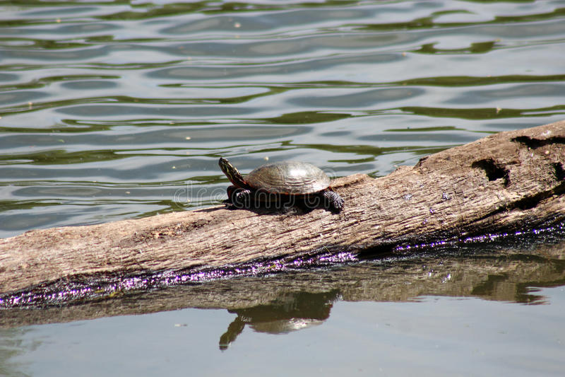 Download Turtle stock image. Image of looking, turtles, park, animal - 71783833
