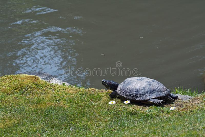 Turtle Resting Sitting next to White Flowers near a Pond royalty free stock photography